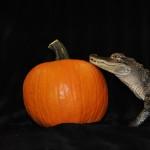 Alligator with a Pumpkin