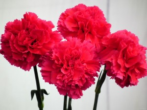 1carnationflower10