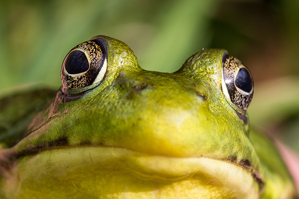 A closeup front view of a frog face with bulging eyes.