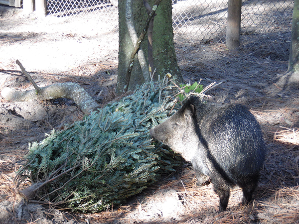 Fred the peccary, pictured by a Christmas tree, passed away Tuesday, Nov. 14, 2017.