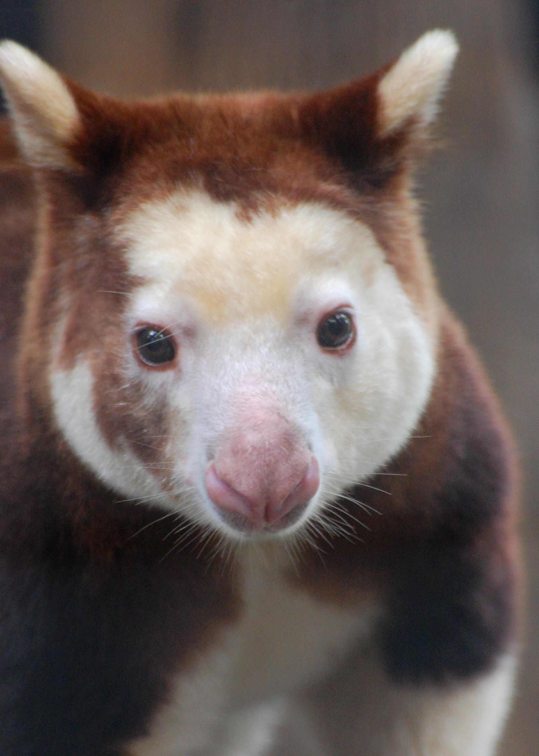Matchie's Tree Kangaroo