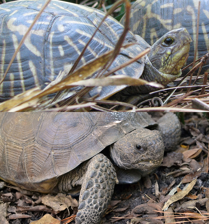Florida Box Turtle (top) and Gopher Tortoise (bottom)