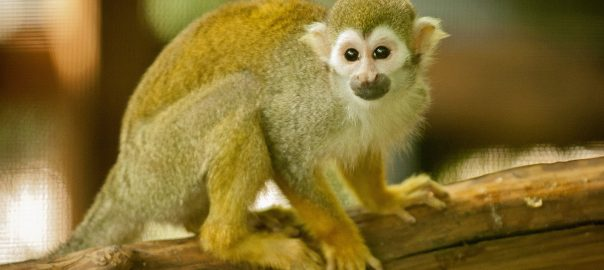 Mani the squirrel monkey was one of the seven animals recovered Monday afternoon.