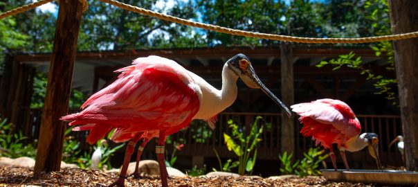 A roseate spoonbill in the Santa Fe College Teaching Zoo walk-through aviary.