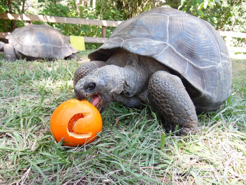 A turtle at the SF Teaching Zoo eating a pumpkin
