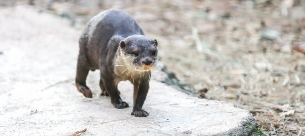 Simon, one of the Asian small-clawed otters, pased away January 22, 2019 at the SF Teaching Zoo