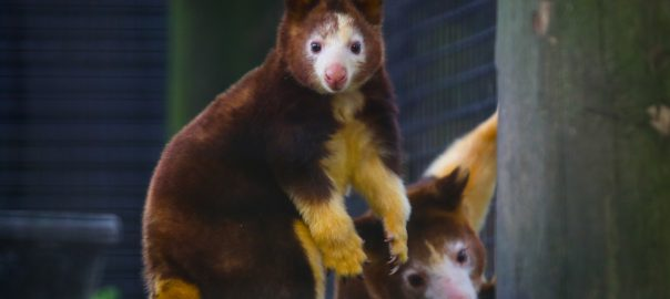 A young tree kangaroo and mother photographed at the Santa Fe College Teaching Zoo