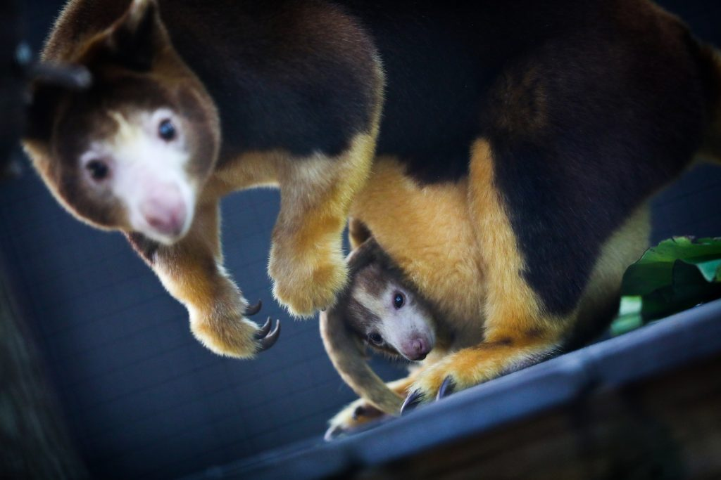 A Matschie's Tree Kangaroo with her joey in their enclosure at the Santa Fe College Teaching Zoo.