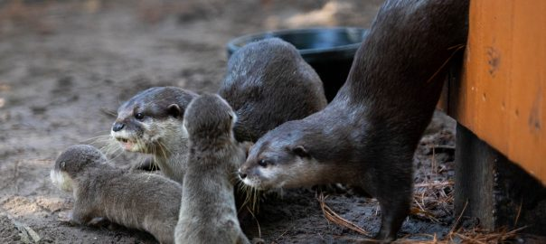 The SF Teaching Zoo welcomes 5 new baby otters.