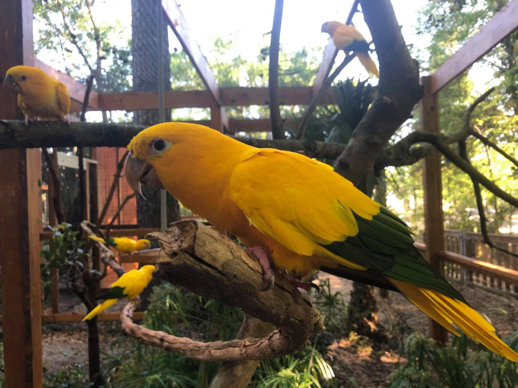 Golden conure birds in their enclosure at the SF Teaching Zoo.