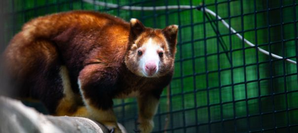 Adelaide, a tree kangaroo at the Santa Fe College Teaching Zoo.