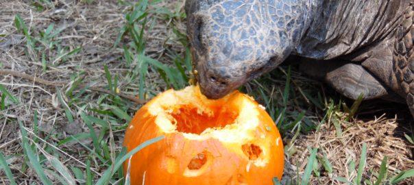 Tortoise eating a jack-o-lantern